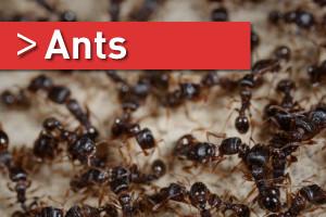 Ants-03