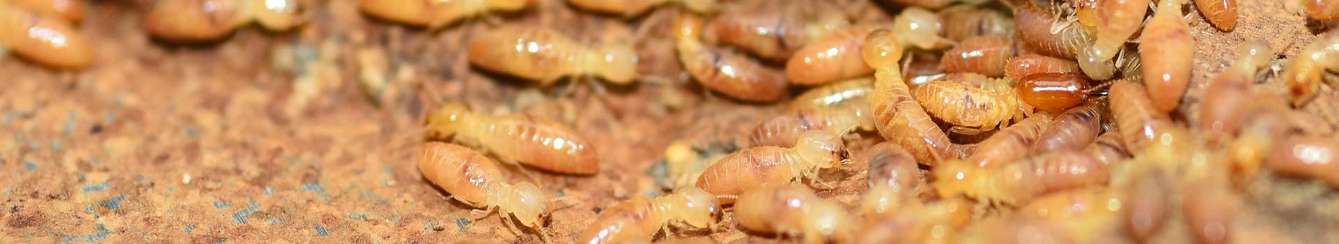 white-ants
