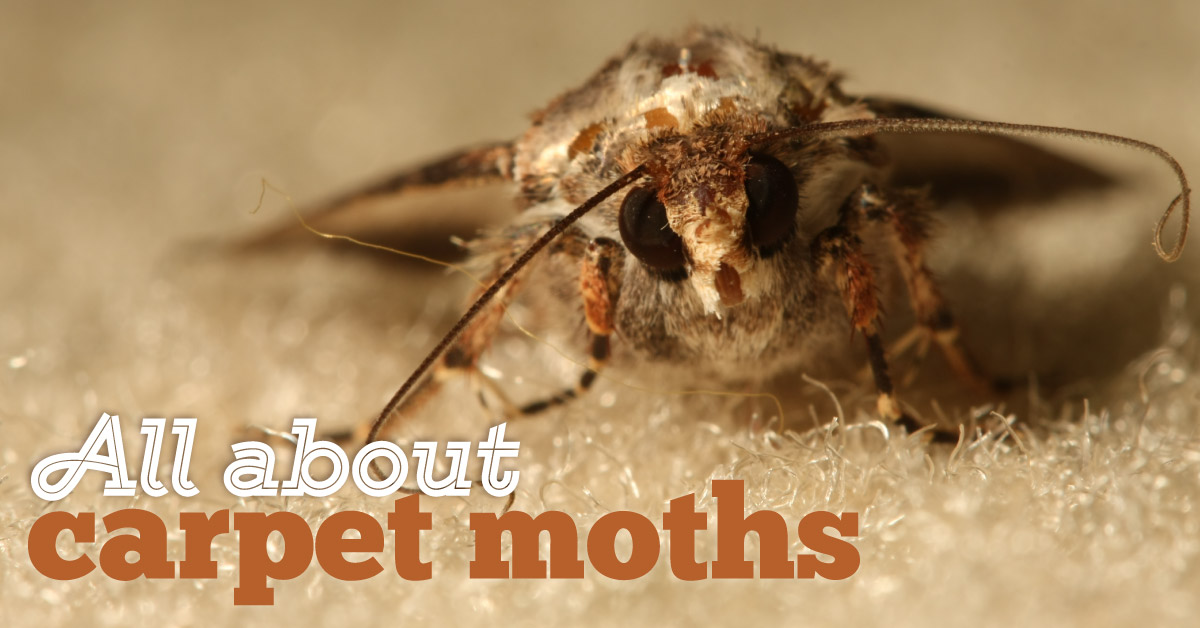 All About Carpet Moths Cure All Pest Control