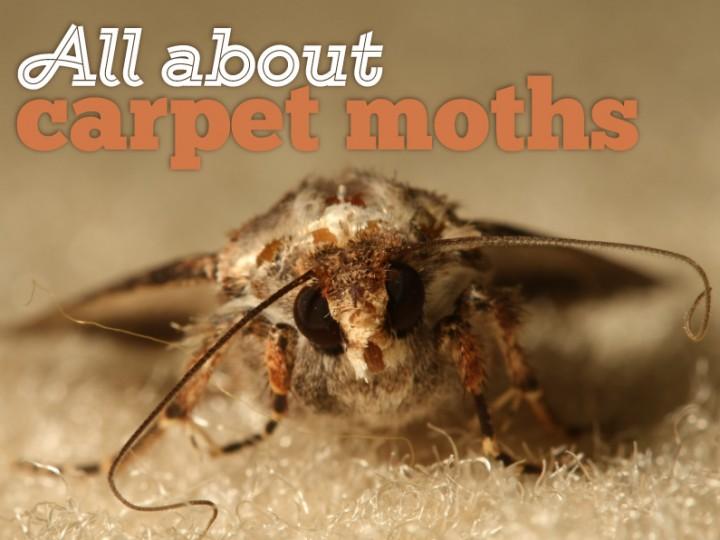 All About Carpet Moths