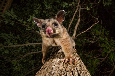 why are possums so dangerous to your family