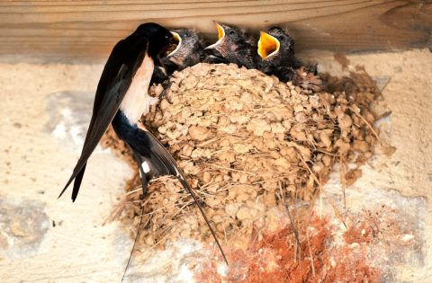Why Birds Nesting in Your Roof is Bad