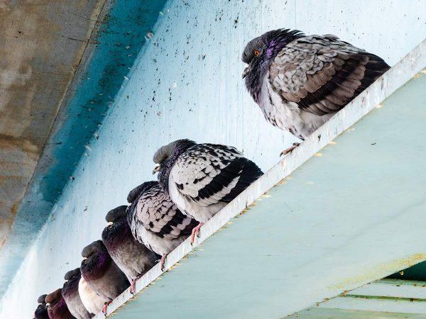 Australian problem birds
