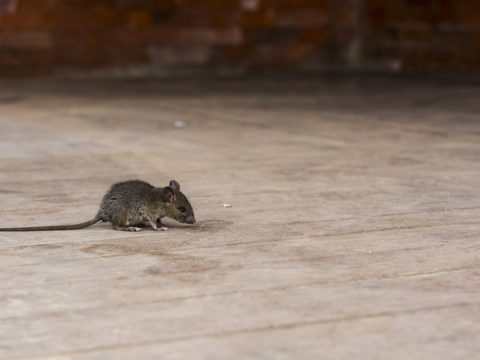 rodent infestation pest control