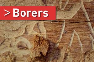 borers pest control