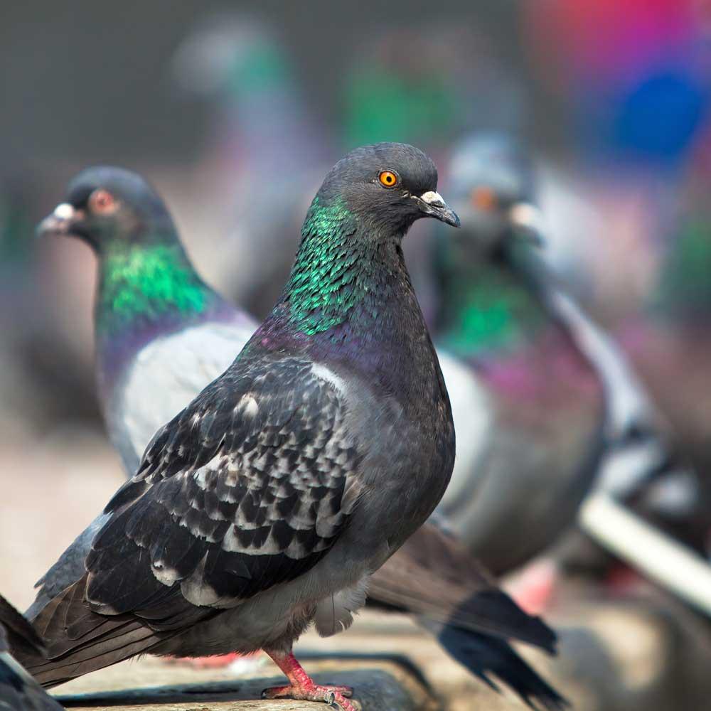 Pigeon-SQU-01