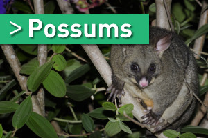 possum removal brisbane