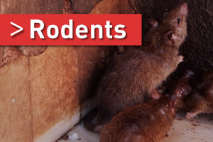rat and mice pest control