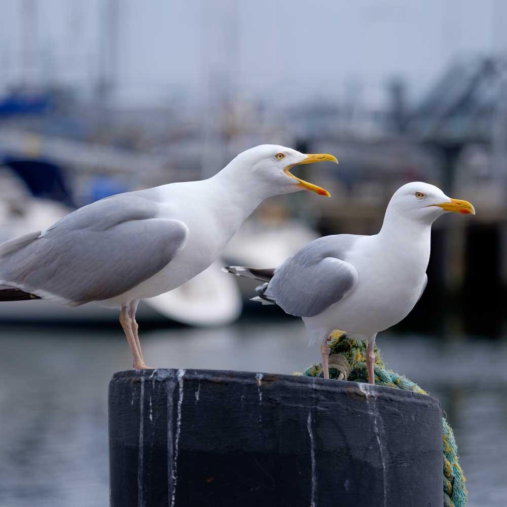 Seagull-SQU-01