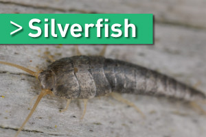 silverfish treatment