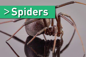 spiders pest control brisbane