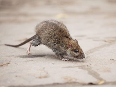 Does your pest controller know as much about rodents as we do?