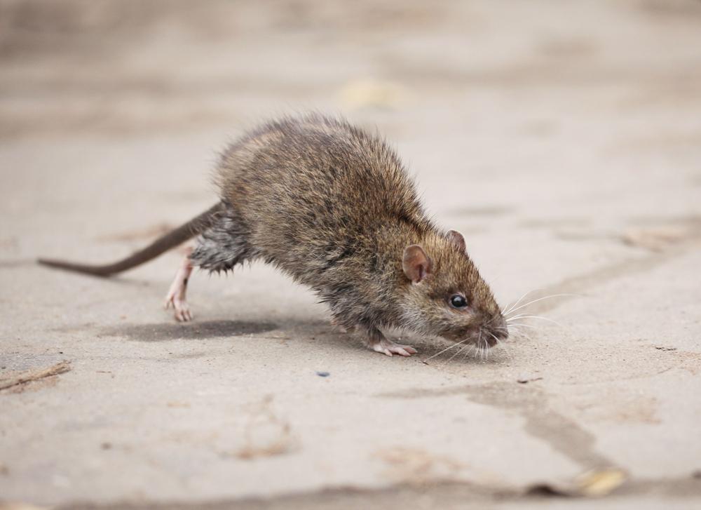 rodent myths
