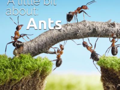 A little bit about: Ants