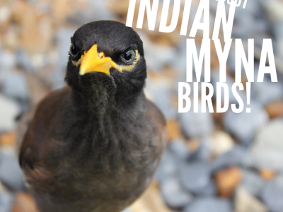 All About Indian Myna Birds