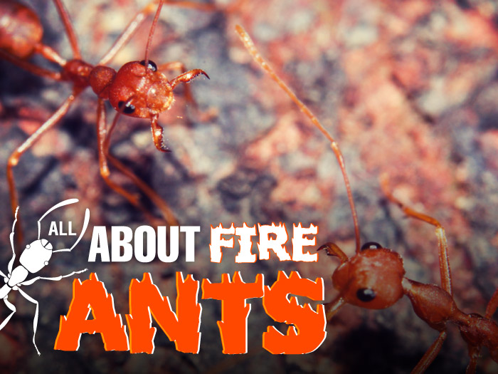 All-About-FireAnts-Artwork