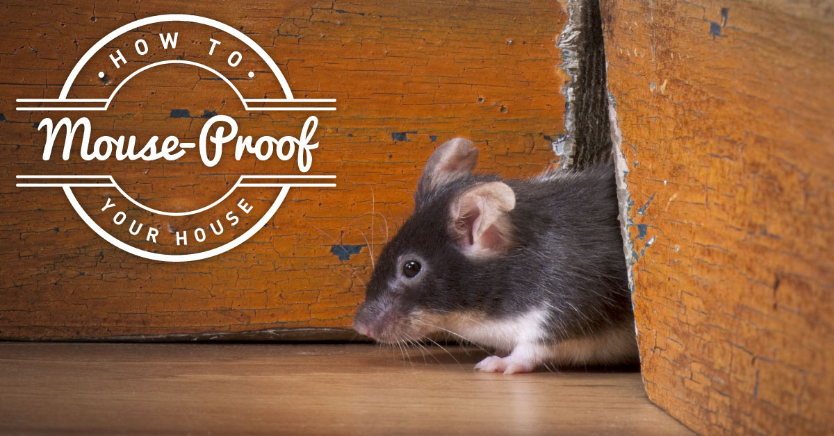 How to Mouse Proof Your House | Cure-All Pest Control