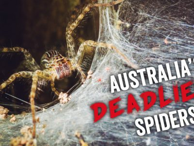 Australia's Deadliest Spiders