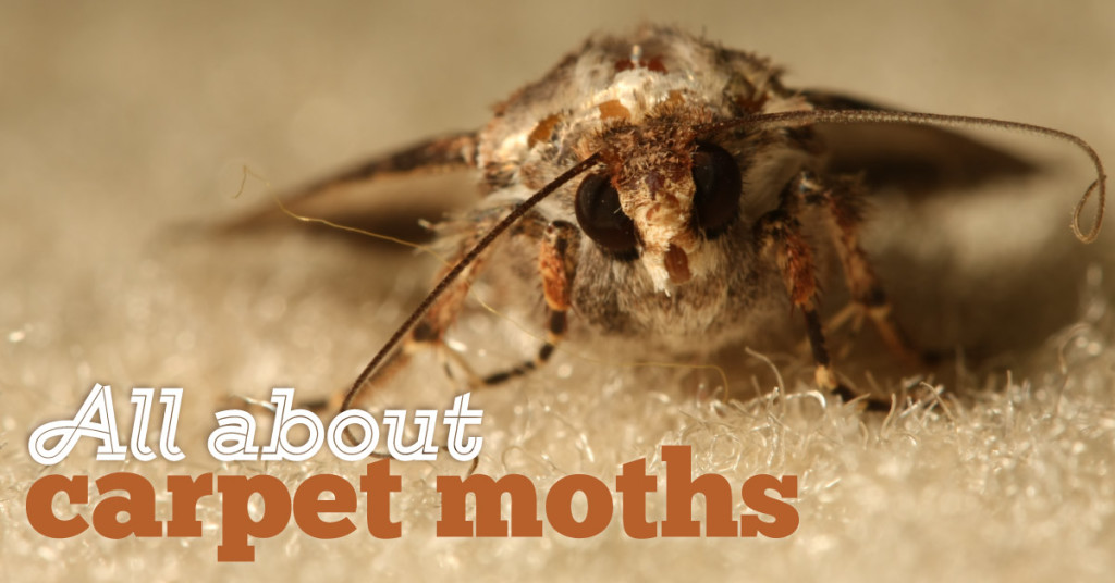 carpet-moths-fb