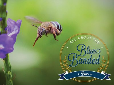 All About the Blue-Banded Bee