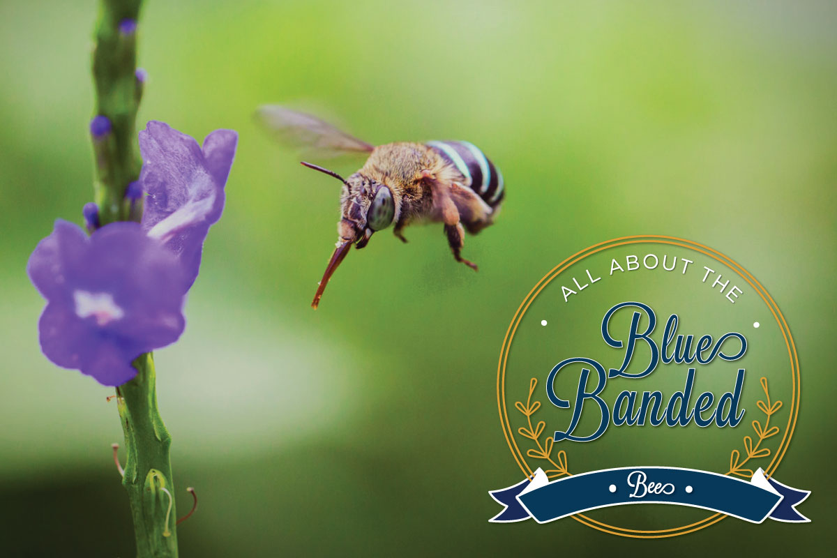 Blue-Banded-Bees-header