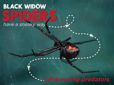 How Black Widow Spiders Sneakily Deter Predators