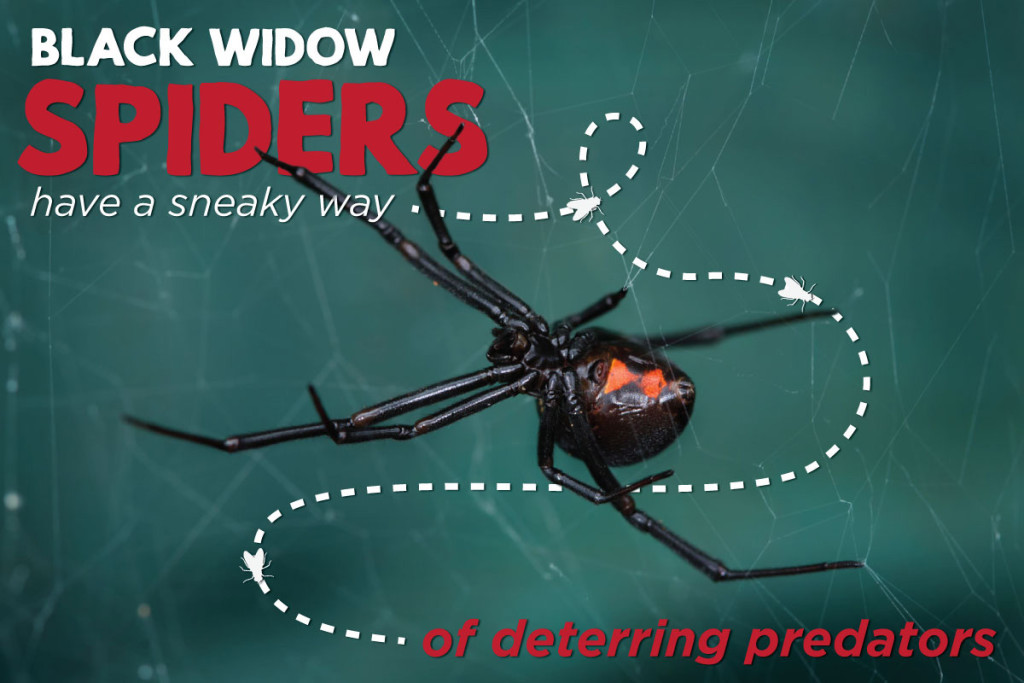 black-widow-spiders-have-a-sneaky-way-of-detetion-header-02
