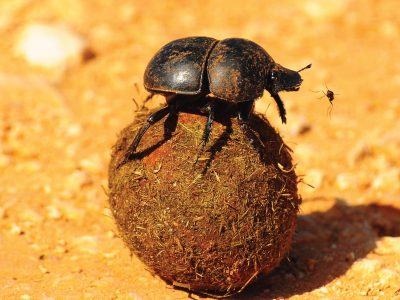 Dung Beetles Take Pictures of the Sky