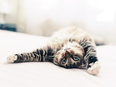 Why do Cats Stretch so Much?