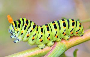 caterpillar-cure-all-pest-control-brisbane
