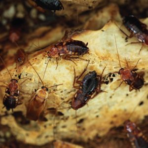 Cockroaches Communicate Through Poo