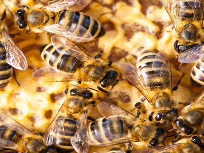 Bees don't need males
