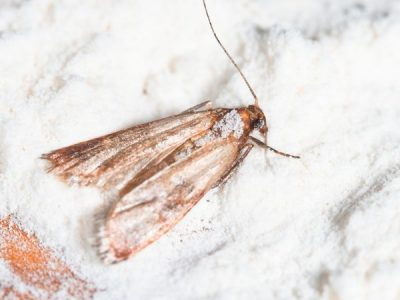 Why You Have Pantry Moths, and How to Get Rid of Them.