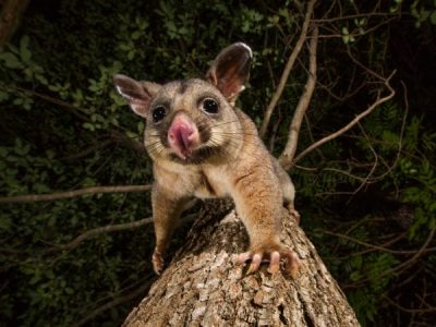 Why Are Possums So Dangerous to Your Family?