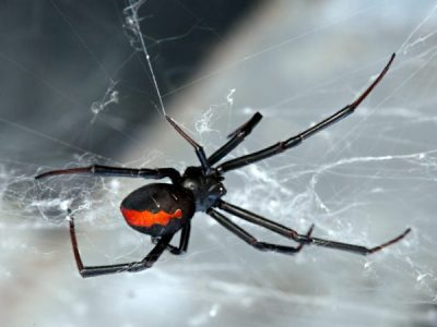 Where are Redback Spiders hiding in your home?