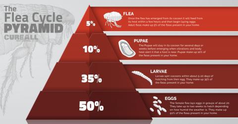 fleas, lifecycle, pyramid