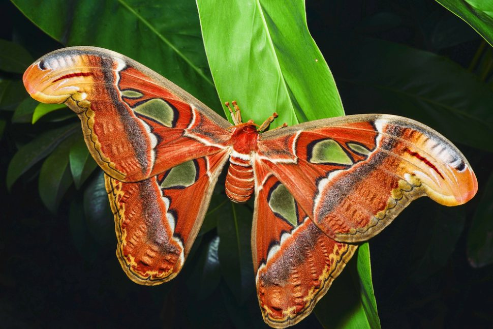 Herculues moth, atlas moth, queensland, biggest moth in world