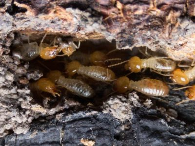 How to Prevent Termites from Eating your Home