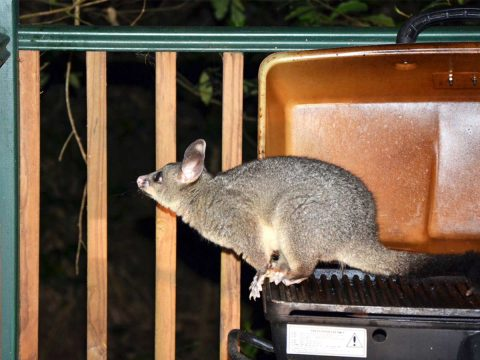 humanly remove possums from home