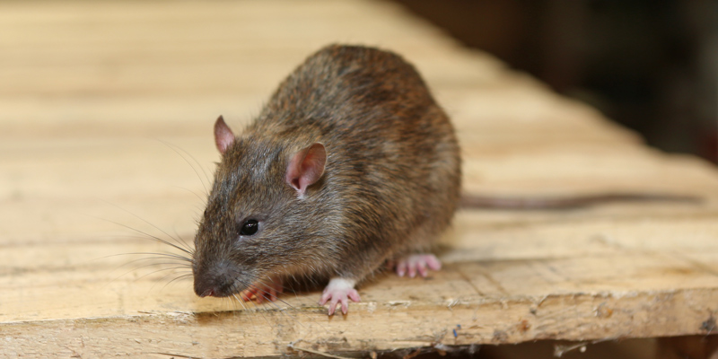 Cure All Pest Control Checking for Pests in the Bedroom Rats and Mice