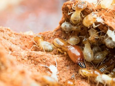 Why Mt Gravatt, Carindale & Brookfield are termite hot spots