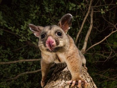 Removing possums in suburbs like Indooroopilly, Kenmore & Toowong