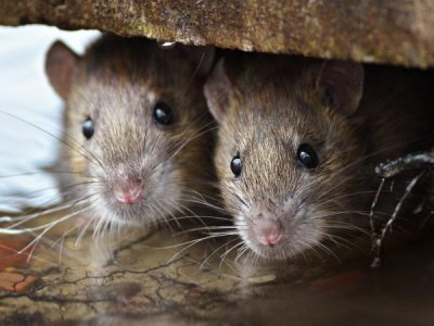 Rodent control in Brisbane: Identifying common rat and mice species
