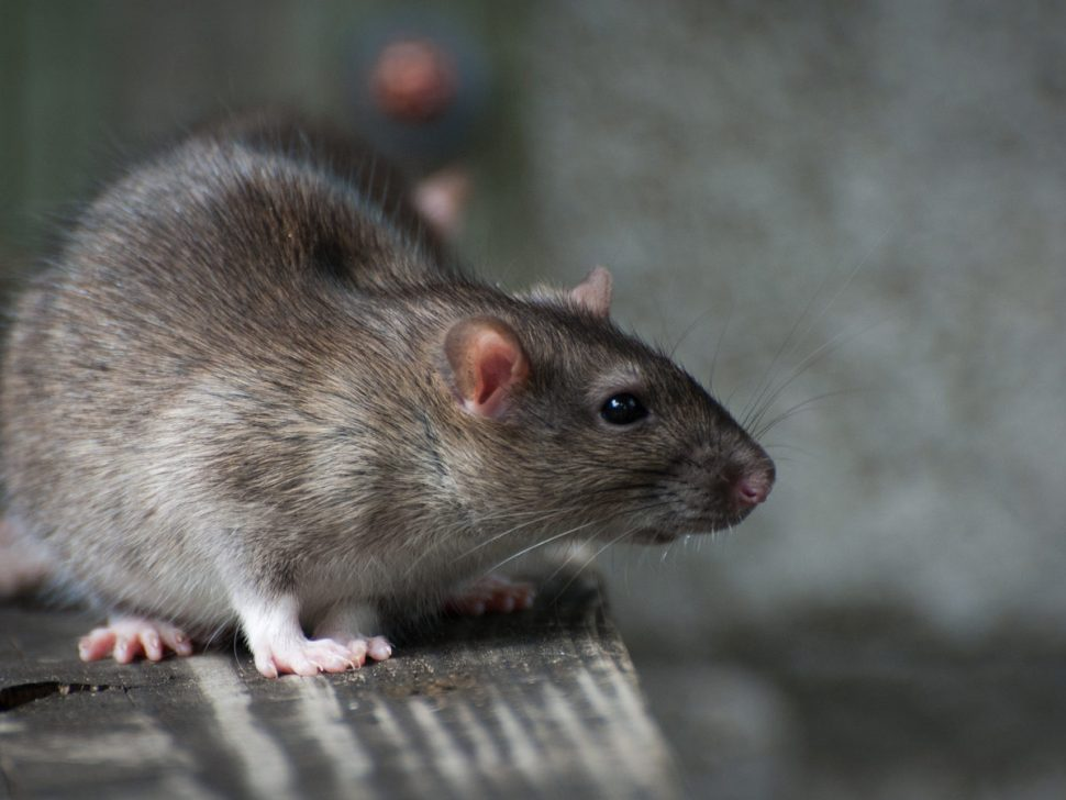 Rat control in Inner Brisbane needs constant vigilance to stop invasion
