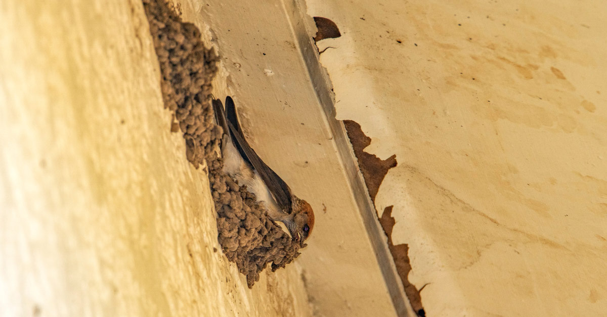 Welcome swallows and fairy martins are protected bird species in Australia, but can be permanently excluded from your property using bird-proofing devices.