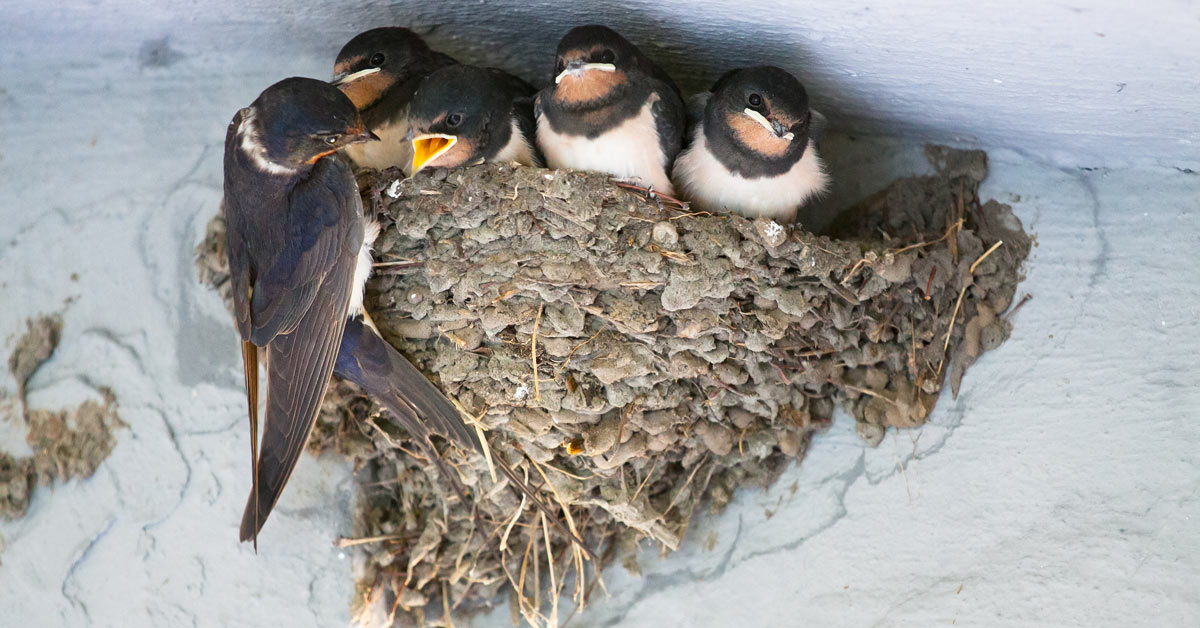 Australian swallows may look small and harmless, but they can cause serious damage to your property and its inhabitants.