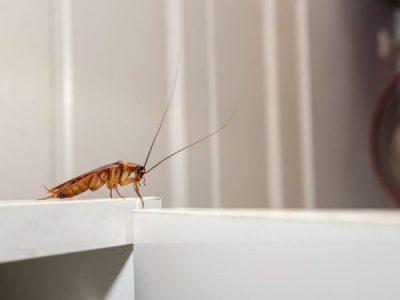 Cockroach baits vs cockroach sprays