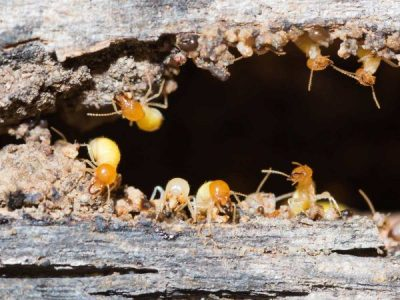 8 Signs You Might Have Termites (White Ants)