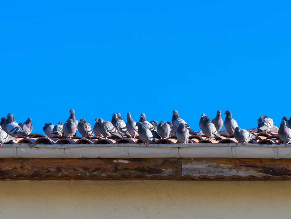 Pigeon pest control, bird control brisbane. How to stop pigeons making nests in your property.