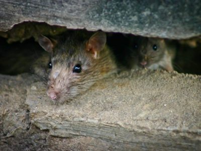 Rats in the walls – what do you do?